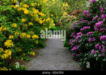 rhododendron luteum, yellow, azalea pontica ,rhododendrons, shrubs, yellow flowers, flowering, ericaceous, tree, - Stock Photo