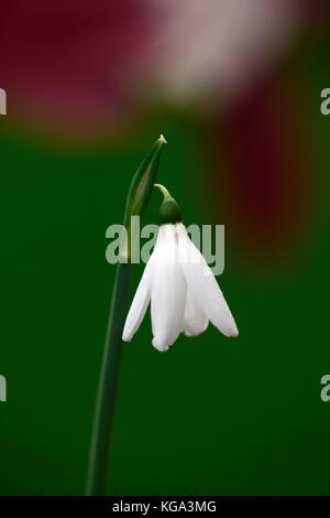 Galanthus reginae olgaa tessera, G.R.O., autumn, autumnal, fall, flower, flowers, flowering, snowdrop, snowdrops, - Stock Photo