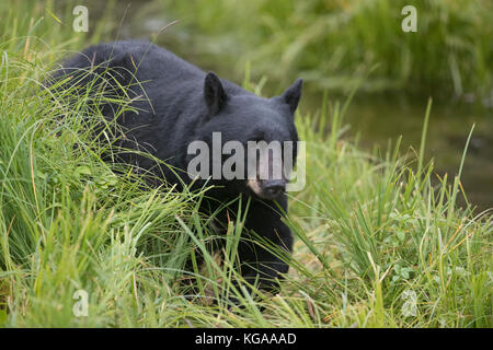 Black bear heads down to the river to fish for salmon, Alaska - Stock Photo