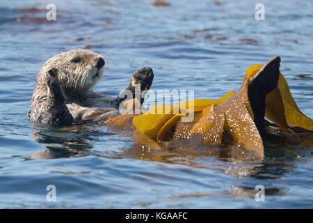 Sea Otter rolling in kelp, Alaska - Stock Photo