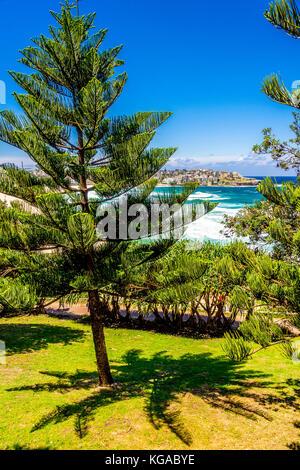 Pine trees at Bondi Beach in Sydney, NSW, Australia - Stock Photo