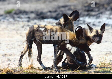 Wild Dogs Lycoan pictus, in South Luangwa National Park, Zambia - Stock Photo