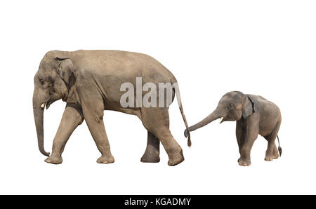 Walking family of elephant - mom and baby (Elephas maximus). Small elephant is held by the trunk by the tail of - Stock Photo
