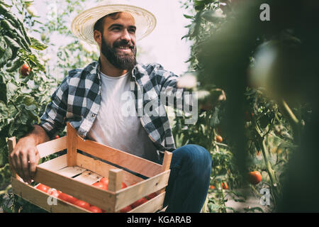 Male farmer picking fresh tomatoes from his hothouse garden - Stock Photo