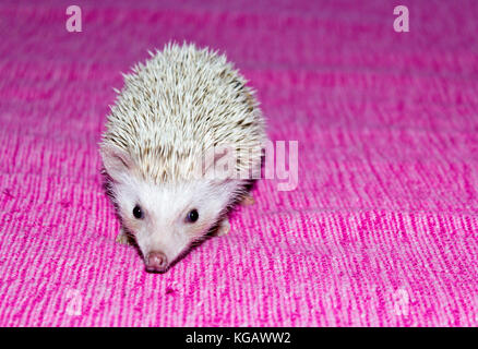 Pet- Four-toed hedgehog (Atelerix albiventris) or African pygmy hedgehog - Stock Photo