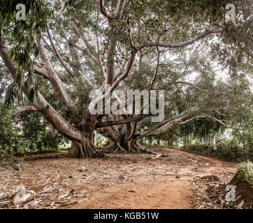 Hsipaw 3-day Hike to Shan Villages - 200+ year old bodhi tree - Stock Photo