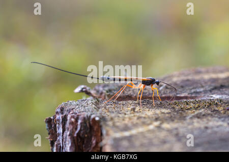 Close-up of a female parasitoid wasp (Dolichomitus imperator) trying to find a place to lay her eggs - Stock Photo