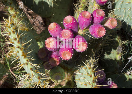 France, Corse, figuier de barbarie, cactus - Stock Photo