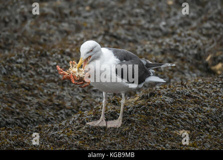Lesser black-backed gull eating a crab - Stock Photo