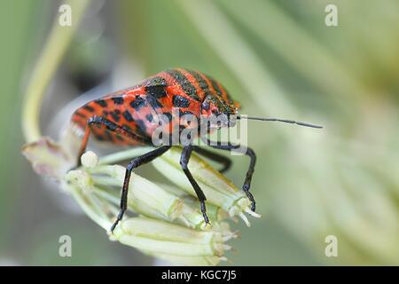 Italian striped-bug, Graphosoma lineatum - Stock Photo