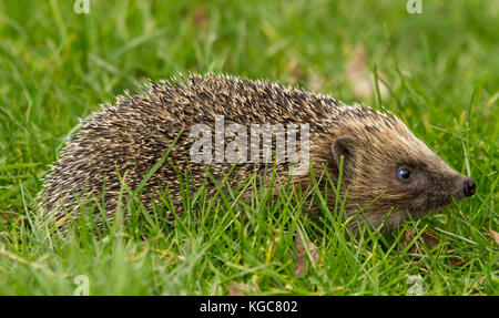 Hedgehog, Erinaceus Europaeus, wild, native, European hedgehog walking to the right in natural garden habitat of - Stock Photo