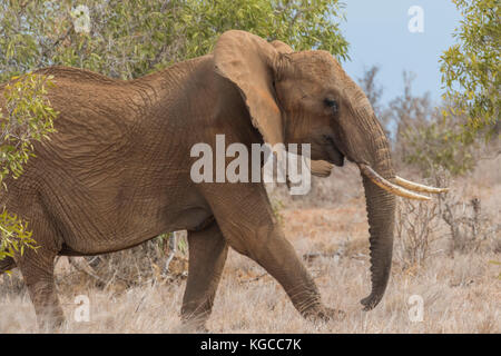 An African elephant walks through the bush in Tsavo East National Park, Kenya - Stock Photo