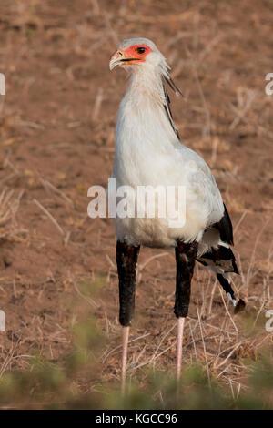 A Secretary Bird looking for prey in Tsavo East National Park, Kenya - Stock Photo