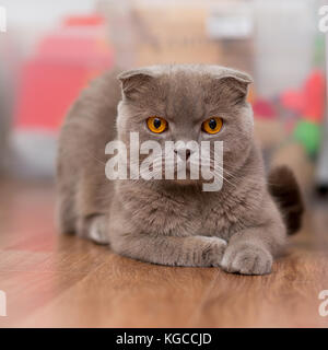 cat breed Scottish Fold, brown color with orange eyes lying on the floor - Stock Photo