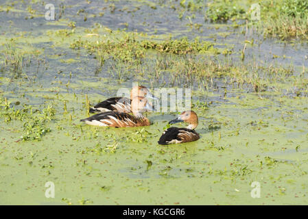 Three swimming fulvous whistling ducks (Dendrocygna bicolor) - Stock Photo
