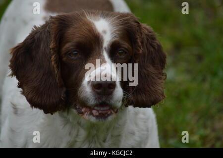 brown and white spaniel - Stock Photo