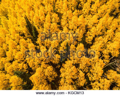Looking down on a Colorado aspen forest in full fall color. - Stock Photo