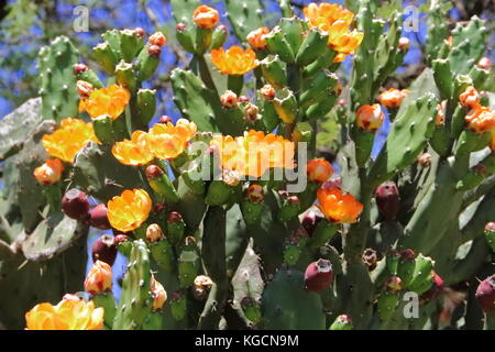 cactus and succulents with yellow flowers in spring - Stock Photo