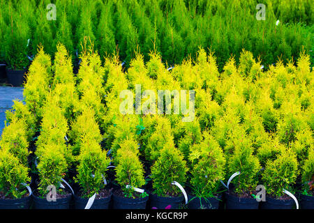 Many pots with Thuja occidentalis sold in garden center. Also known as Northern White Cedar, eastern arborvitae, - Stock Photo