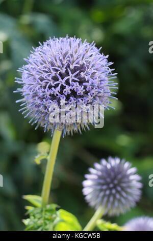 Echinops bannaticus 'Taplow blue' globe thistle flowering in a summer garden border, UK - Stock Photo