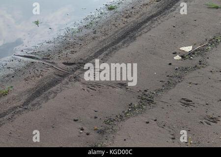 Nutria, Spuren im Sand, Schlamm am Gewässerufer, Trittsiegel, Fährte, mit Abdruck des drehrunden Schwanzes auf dem - Stock Photo