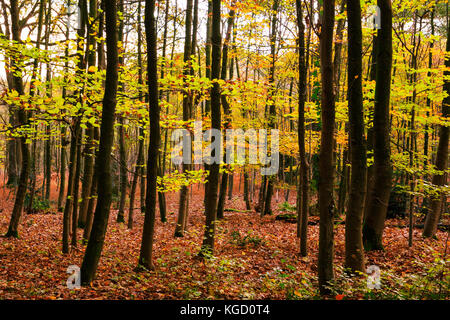 Uhlenhorst forest, aka Broich-Speldorfer Wald, in autumn, Mülheim an der Ruhr, Ruhr Area, North Rhine-Westphalia, - Stock Photo