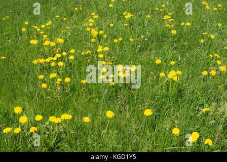 A field of dandelions (taraxacum) and spring flowers around Attlesee, Nesselwang, Bavaria, Germany - Stock Photo