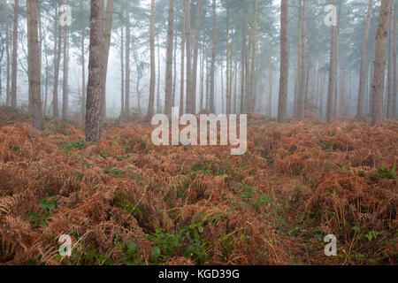Tall fir trees shrouded in a thick fog and golden bracken. - Stock Photo