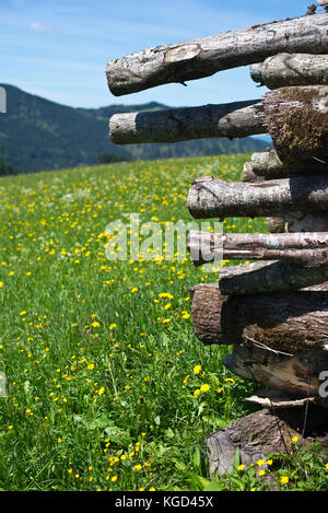 Field of Dandelions and spring flowers around the mountain exclave quadripoint border village of Jungholz, Tirol, - Stock Photo