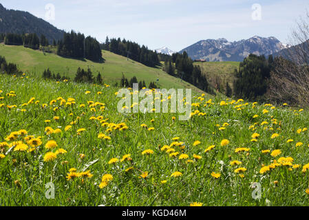 Fields of Dandelions and spring flowers around the mountain exclave quadripoint border village of Jungholz, Tirol, - Stock Photo