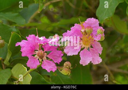 Lagerstroemia speciosa, Giant Crape-myrtle, Pink flower, Pune, Maharashtra - Stock Photo
