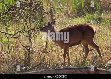 Red Deer, Cervus elaphus,  Single adult female feeding on bushes.  Minsmere, Suffolk, UK. - Stock Photo