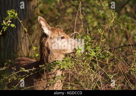 Red Deer, Cervus elaphus,  Portrait of single adult female feeding on leaves of brambles. Minsmere, Suffolk, UK. - Stock Photo