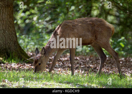 Red Deer, Cervus elaphus,  Portrait of single adult female feeding.  Minsmere, Suffolk, UK. - Stock Photo