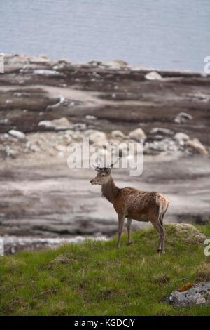 Red Deer, Cervus elaphus, single adult male standing on hillside. Glen Garry, Highland, Scotland, UK. - Stock Photo
