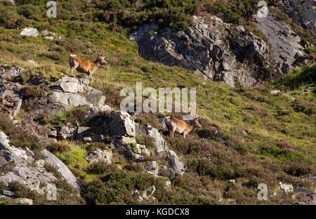 Red Deer, Cervus elaphus, two adult males standing on rocky hillside. Glen Shee, Highland, Scotland, UK. - Stock Photo