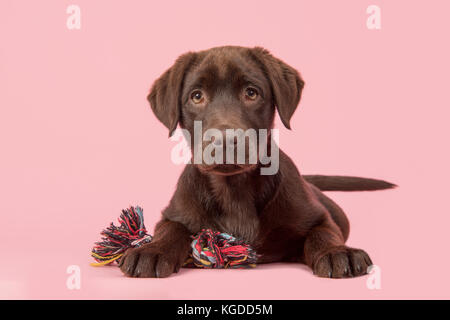Brown labrador retriever puppy lying down seen from the front, with its paws in front of her holding a knotted rope - Stock Photo