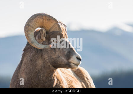 Portrait of a Rocky Mountain Bighorn Sheep Ram (Ovis canadensis) with mountains in the background, Jasper National - Stock Photo