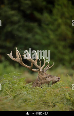 red deer (Cervus elaphus), Stag during rut, England, U.K. - Stock Photo