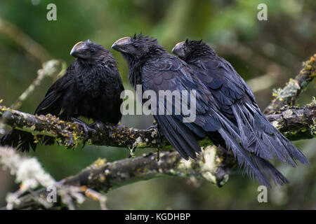 A common species on the South American mainland, the groove billed ani has made its way to the galapagos islands - Stock Photo