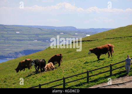 Cattle grazing on the hill tops of Cliffs of Moher, County Clare,Ireland - Stock Photo