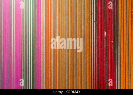 Workers in colourful tulip fields, Edendale, Southland, South Island, New Zealand - drone aerial - Stock Photo