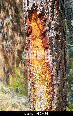 Resin dripping from a pine tree. Cut in the bark. Mediterranean forest, in Spain. Sunny day of summer time. Colorful - Stock Photo