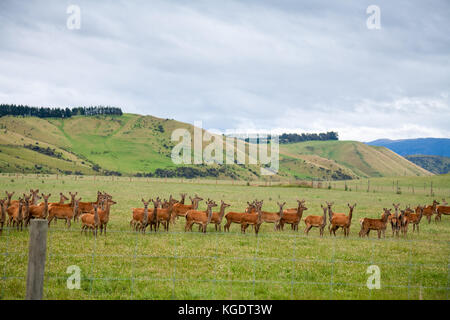 Deer grazing at a pasture in New Zealand - Stock Photo