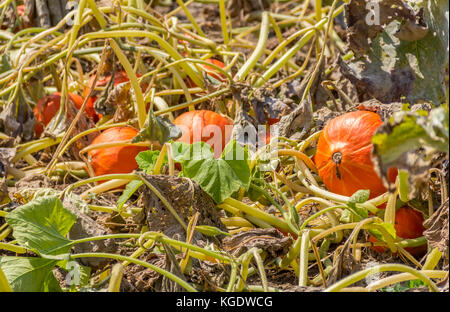 field detail including lots of ripe red kuri squashes in sunny ambiance - Stock Photo