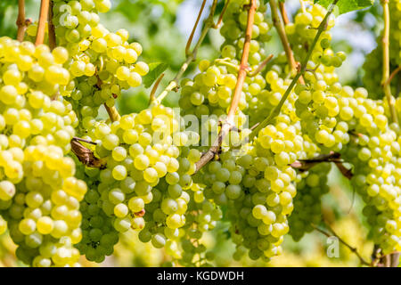 detail of white grapes in a sunny illuminated vineyard - Stock Photo