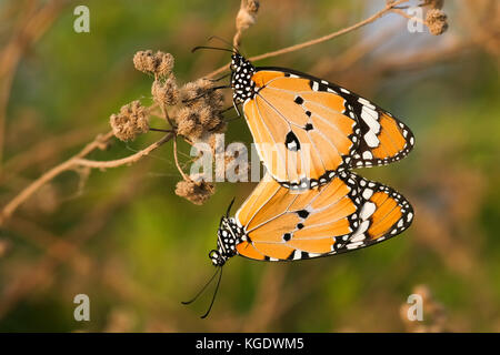 Plain Tiger (Danaus chrysippus) AKA African Monarch Butterfly shot in Israel, Summer August - Stock Photo
