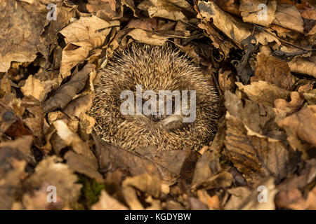 Hedgehog, Erinaceus Europaeus, wild, native, European hedgehog curled into a ball and hibernating in brown Autumn - Stock Photo