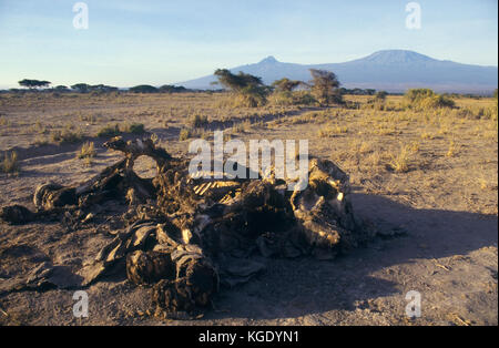 African bush elephant, Loxodonta africana. Carcass of an elephant killed by poachers to steal de ivory. Kilimanjaro - Stock Photo