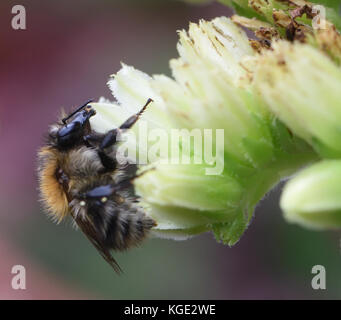 A Common Carder Bee (Bombus pascuorum) foraging on a houseleek (Sempervivum species) flower. Bedgebury Forest, Kent, - Stock Photo